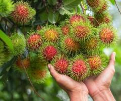Achotillo rambutan en Ecuador, plantas de la costa ecuatoriana