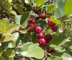 Arbol de guayaba fresa, plantas de la costa y sierra ecuatoriana