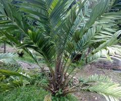 Planta salak, palmeras tropicales en Ecuador