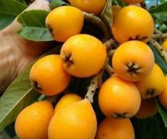 Nispero japones plantas los arboles frutales exoticos de la sierra y costa frutas de jardin terreno