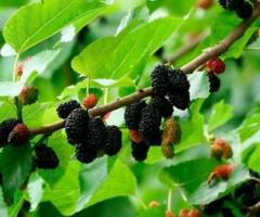 Plantas de mora de arbol morera negra dulce jugosa da fruta todo ano para sierra y costa, en vivero