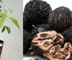 Plantas de nogal la nuez negra arboles exoticos nueces para sierra finca hacienda terreno jardín